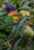 Rainbow Lorikeet Eating Pears